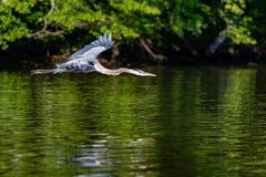 Héron de grand bleu dans le vol de début de la matinée photo libre de droits