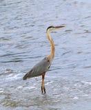 Héron de grand bleu en rivière, Melbourne, la Floride Photos libres de droits