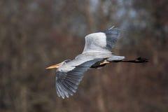 Héron de grand bleu en vol au-dessus du Delaware image libre de droits