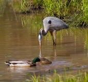 Héron de grand bleu et canards de Mallard Image stock