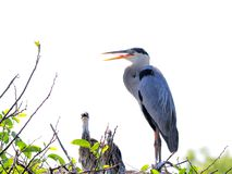 Héron de grand bleu et deux poussins dans le nid Image stock