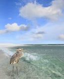 Héron de grand bleu pataugeant dans le Golfe du Mexique photo stock