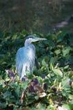 Héron de grand bleu pataugeant et pêchant sur le rivage de lac photographie stock libre de droits