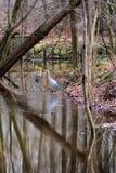 Héron de grand bleu pataugeant sur le bord de l'eau dans une forêt Image stock