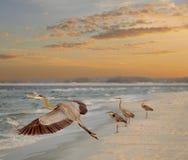 Héron de grand bleu quatre à la plage comme hausses de Sun Photo libre de droits