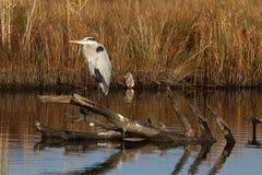 Héron de grand bleu se reposant sur un tronçon dans un marais Photographie stock libre de droits