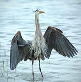 Héron de grand bleu stading dans l'eau de la Côte du Golfe de la Floride Photographie stock libre de droits