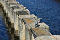 Héron de grand bleu sur l'empilage concret Photographie stock libre de droits
