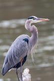 Héron de grand bleu sur la rivière Chattahoochee à Atlanta, la Géorgie images stock