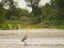 Héron de grand bleu sur la rivière d'arc Images stock