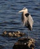 Héron de grand bleu sur la roche à Tampa Bay Photographie stock