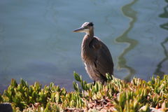 Héron de grand bleu sur le rivage de baie à San Diego Photos libres de droits
