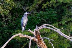 Héron de grand bleu sur une perche photo libre de droits