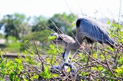 Héron de grand bleu vérifiant des poussins dans le nid Image stock