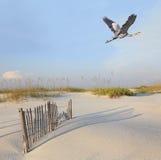 Héron de grand bleu volant au-dessus de la plage immaculée de la Floride Photo libre de droits