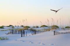Héron de grand bleu volant au-dessus de la plage immaculée de la Floride au lever de soleil Photos libres de droits