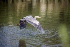 Héron de grand bleu volant au-dessus de la crique photos stock