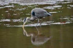 Héron de grands bleus sondant pour des invertébrés ou des poissons sur les appartements de boue de la lagune pleine d'esprit image libre de droits