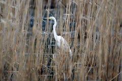 Héron de Great White caché dans les roseaux sur le lac photographie stock libre de droits