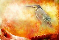 Héron de Greenbacked, oiseau d'eau Photos stock