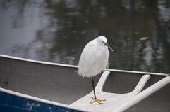 Héron de Milou été perché sur un bateau à rames accouplé Photo stock