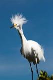 Héron de Milou avec le plumage Photo libre de droits