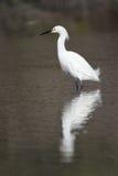 Héron de Milou dans le plumage d'élevage Photographie stock libre de droits