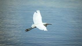 Héron de Milou glissant au-dessus de l'eau de baie Photos libres de droits