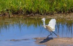 Héron de Milou montrant le plumage d'élevage Image stock