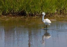 Héron de Milou montrant le plumage d'élevage Image libre de droits