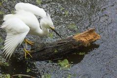 Héron de Milou montrant le plumage d'élevage sur un rondin submergé, jamais Photo stock