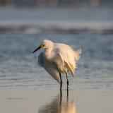 Héron de Milou, plumage d'élevage, San Carlos Bay, plage Pres de Bunche Photos libres de droits