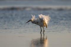 Héron de Milou, plumage d'élevage, San Carlos Bay, plage Pres de Bunche Photographie stock libre de droits