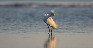 Héron de Milou, plumage d'élevage, San Carlos Bay, plage Pres de Bunche Image libre de droits