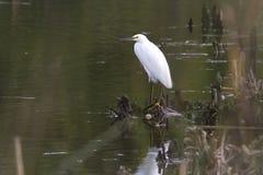 Héron de Milou se tenant sur une végétation d'île de petit lac Photographie stock libre de droits