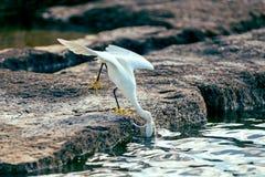 Héron de Milou (thula d'Egretta) Photographie stock libre de droits