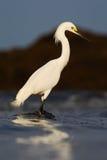 Héron de Milou, thula d'Egretta, dans l'habitat de côte Héron avec le soleil dans le lever de soleil de matin Oiseau avec la mer  Photo libre de droits