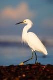 Héron de Milou, thula d'Egretta, dans l'habitat de côte Héron avec le soleil dans le lever de soleil de matin Oiseau avec la mer  Photographie stock libre de droits