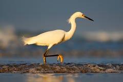 Héron de Milou, thula d'Egretta, dans l'habitat de côte Oiseau avec la mer bleu-foncé Héron dans l'eau Oiseau avec le soleil de m Photo libre de droits