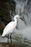 Héron de Milou, thula d'Egretta, oiseau blanc de héron dans la cascade en pierre de roche, Inde Photo stock