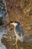 Héron de nuit couronné noir, nycticorax de Nycticorax, Navi Mumbai, maharashtra, Inde photographie stock