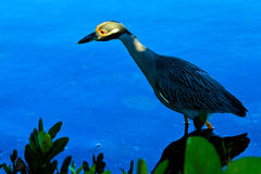Héron de nuit couronné par jaune Photographie stock libre de droits