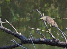 Héron de nuit dans le marais Photo stock