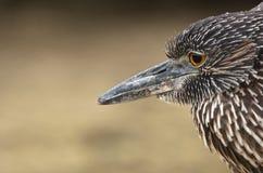 héron de nuit Jaune-couronné, Galapagos Photo stock