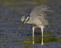 héron de nuit Jaune-couronné mangeant un crabe dans une lagune peu profonde - F Photos stock