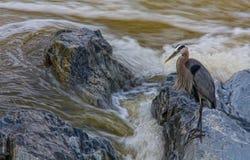 Héron de pêche, parc national de Great Falls, la Virginie Photographie stock
