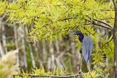 Héron de petit bleu Photo libre de droits