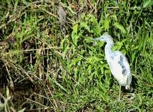 Héron de petit bleu juvénile Photo stock