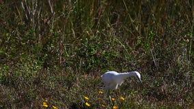 Héron de petit bleu juvénile, caerulea d'Egretta, chassant dans les marais banque de vidéos