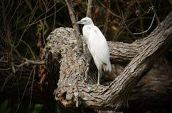 Héron de petit bleu non mûr dans le marais de blackwater Images stock